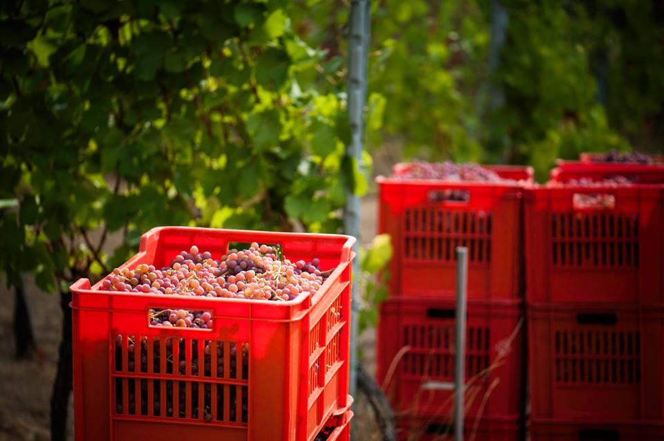 uva la chimera vini