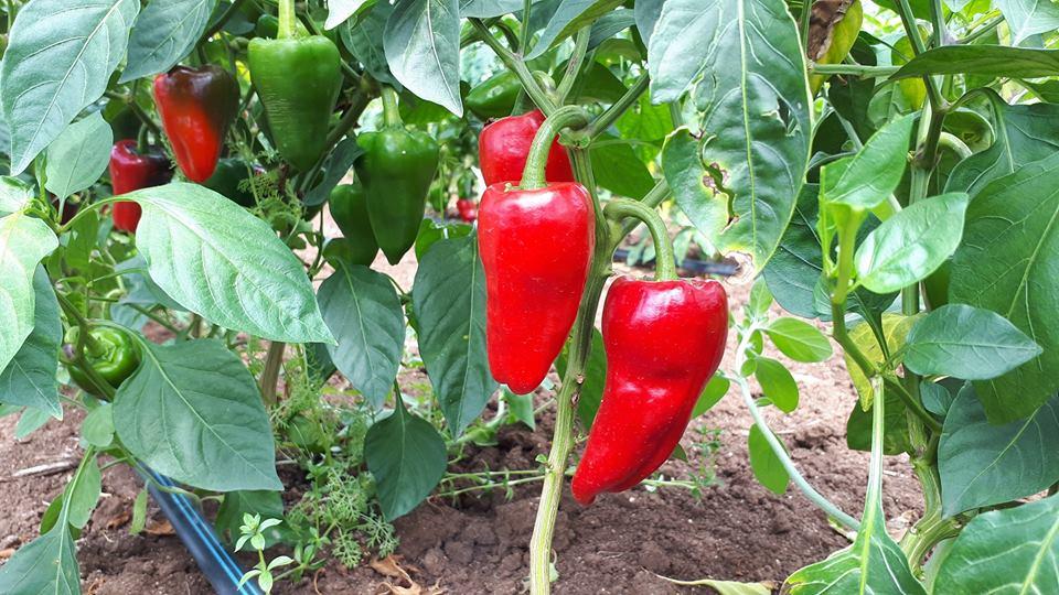 peperoncino rosso calabria