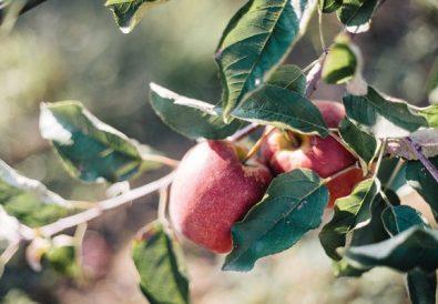 azienda agricola La Soleggiata mele biologiche