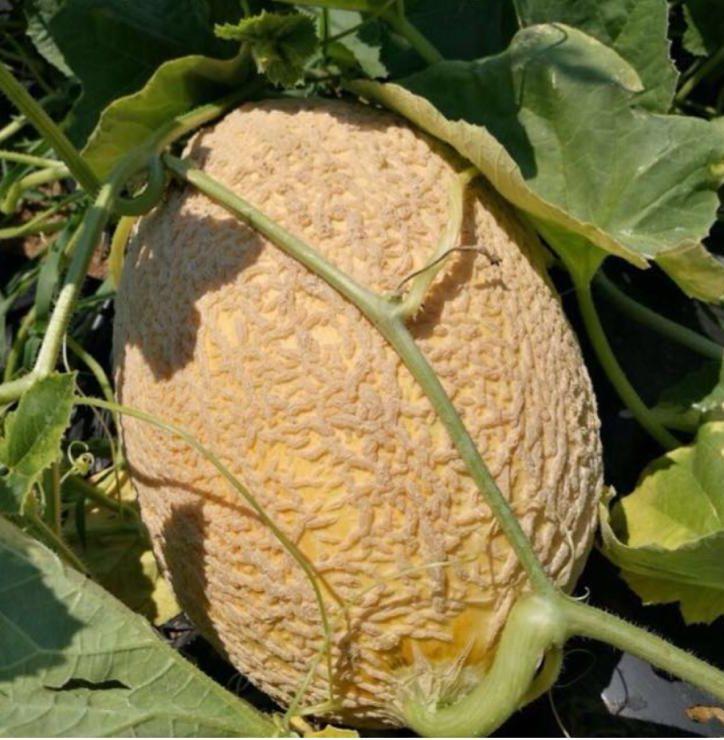 Il Platano cultivar antica Melone retato di Calvenzano