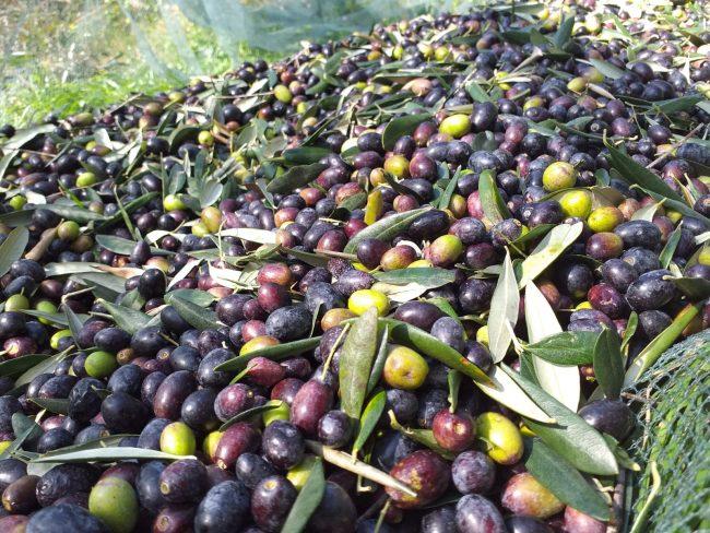 Le olive dell'Azienda Agricola Novaro Nicola