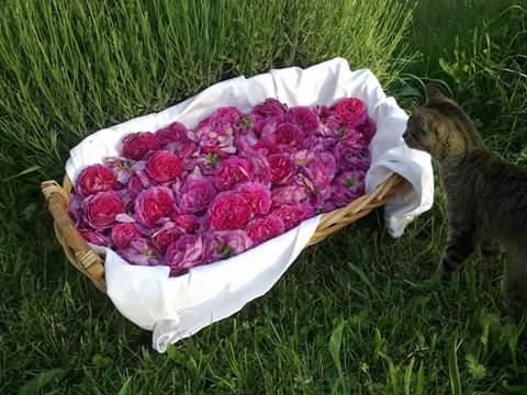 Agriturimo La Sereta Raccolta delle rose da sciroppo