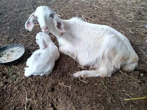 Azienda Agricola Bio San Biagio Le pecore