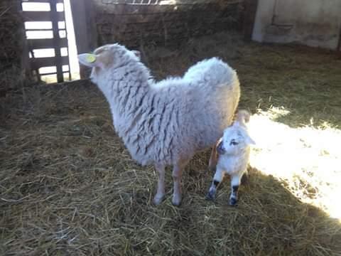 Le pecore dell'Agriturismo La Sereta