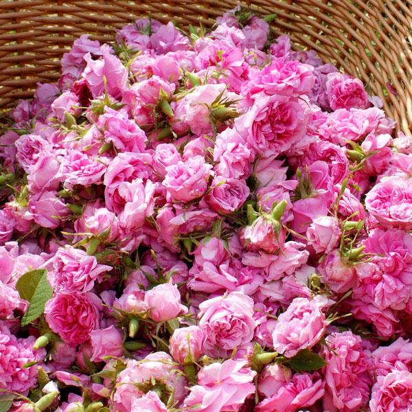 Le rose dell'Azienda Agricola Remedia