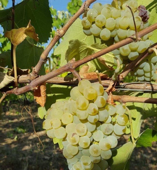 L'uva di Cantina Primogenita