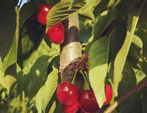 Le ciliegie di R'Era D'Minot