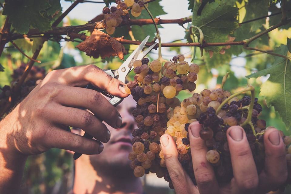 taglio uva per moscato