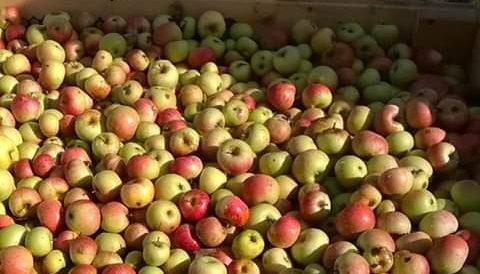 Alcune varietà di mele dell'Azienda Agricola Tre Rii