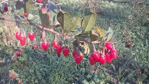 Azienda Agricola Shanti Le bacche di Goji