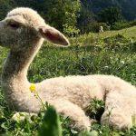 Gli animali da lana de La Casa del Pastore