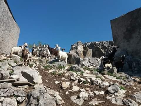 Le capre di Colle del Nibbio