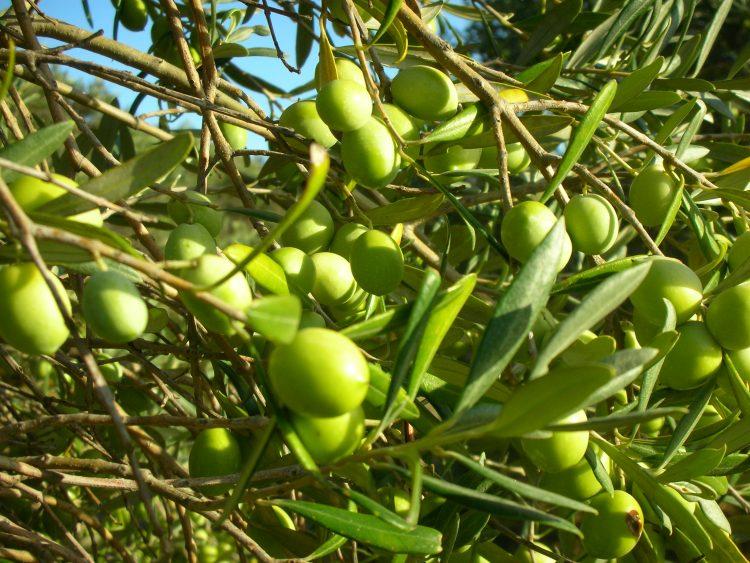 Le olive dell'Azienda Agricola Bettetini