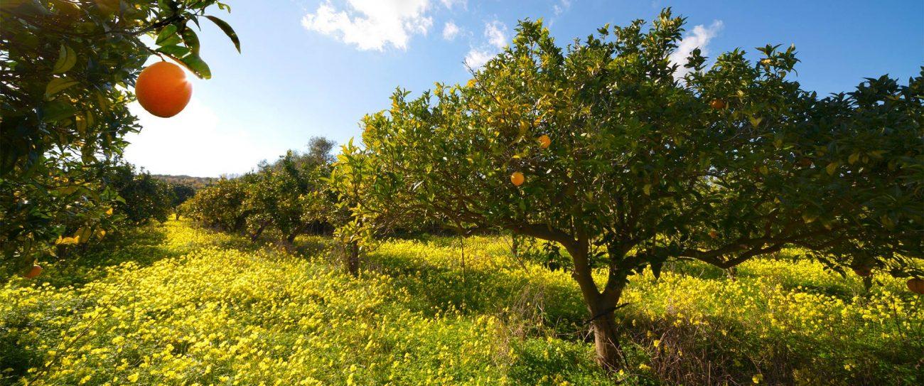 arance di Ribera biologiche